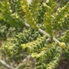 frankincense-hair-perfume