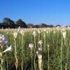 tuberose-field-1