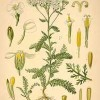 yarrow-web-200